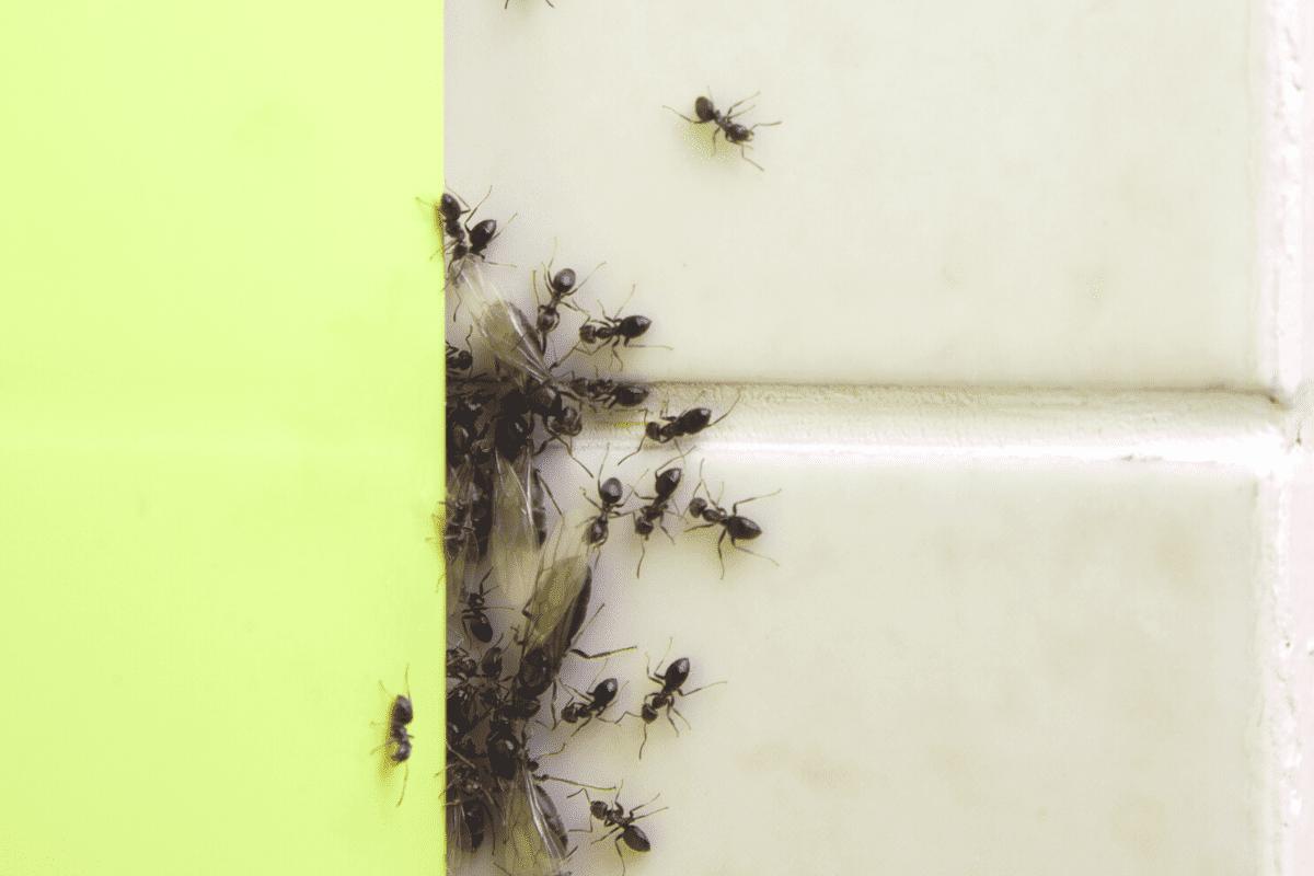 Cara halau semut dalam rumah